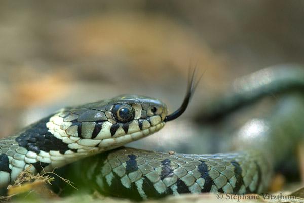 Morsure De Serpent Quels Risques